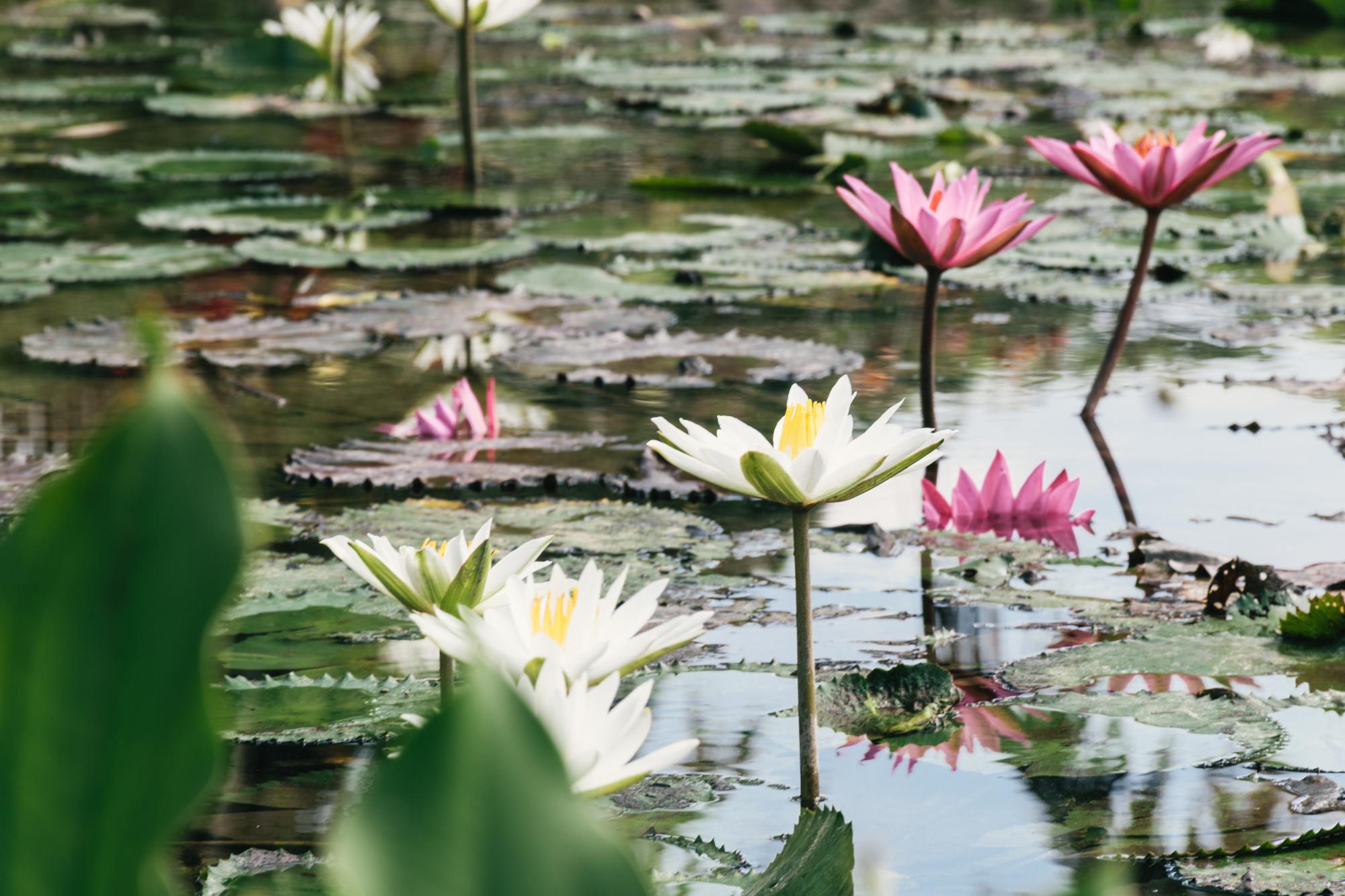 Water Lilies  Jungle Fish