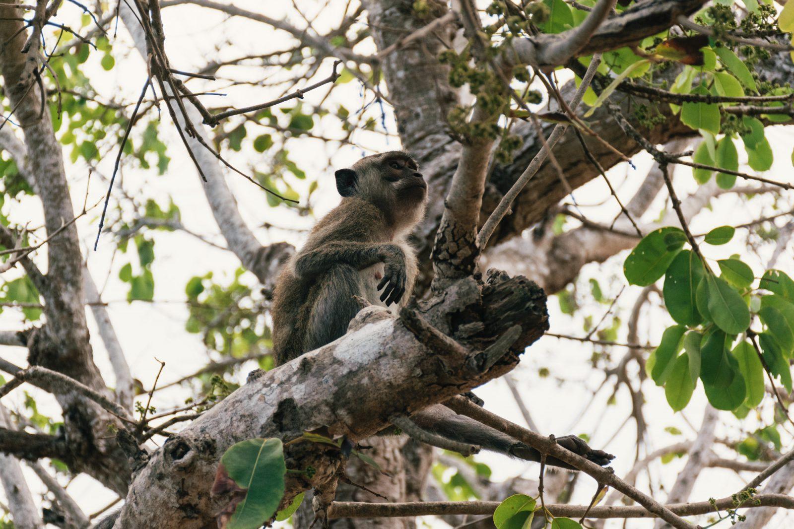 scimmia nusa penida